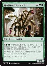 飼い馴らされたハイドラ/Domesticated Hydra 【日本語版】 [CN2-緑U]
